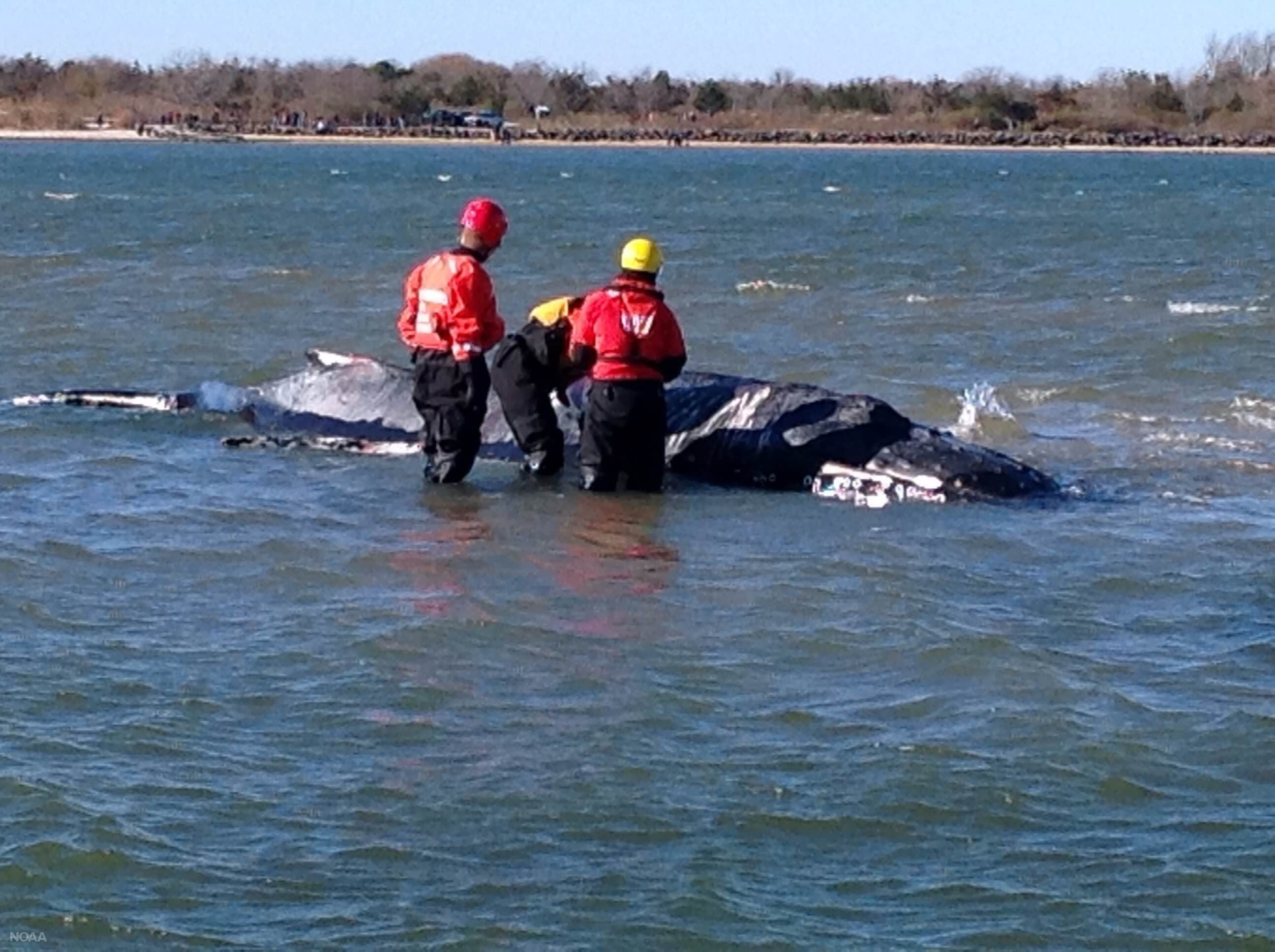 Ailing humpback whale stuck on New York sandbar euthanized
