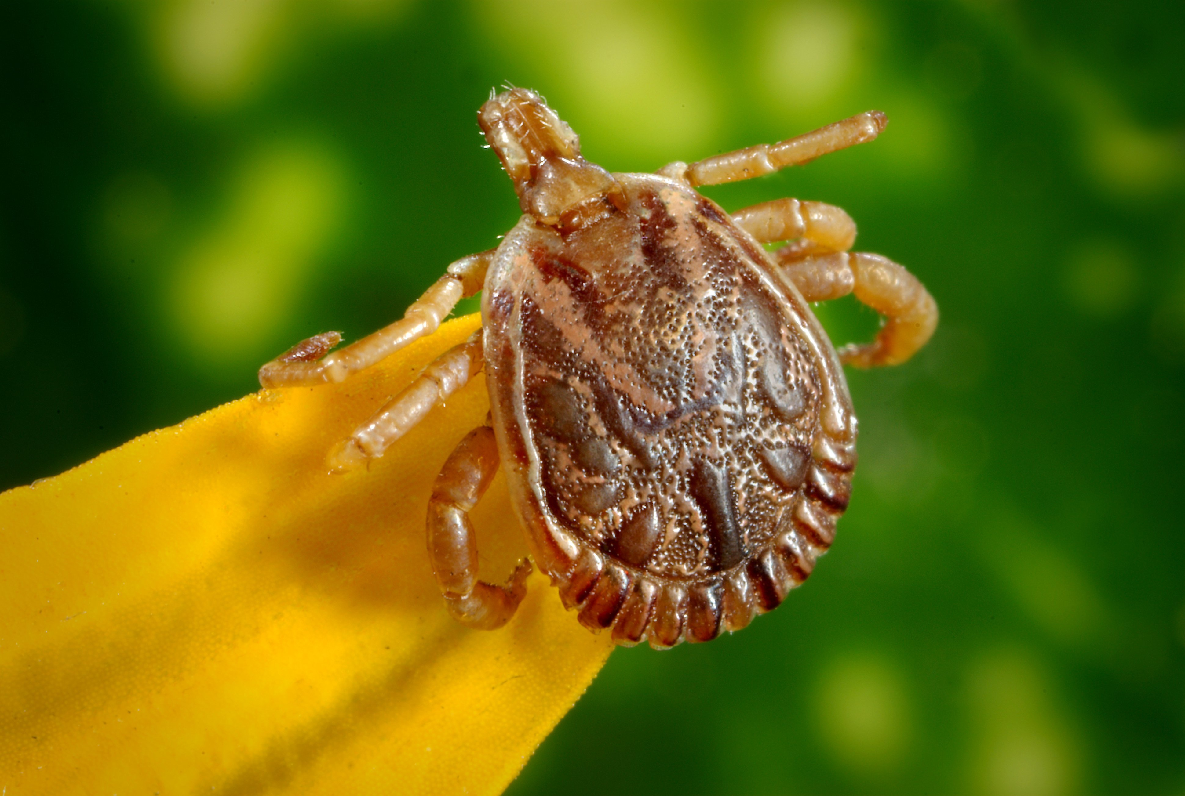 Tick-Borne Illness Suspected in 2-Year-Old's Death