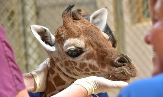 Julius, a giraffe calf, died Saturday at the Maryland Zoo a month after his birth.