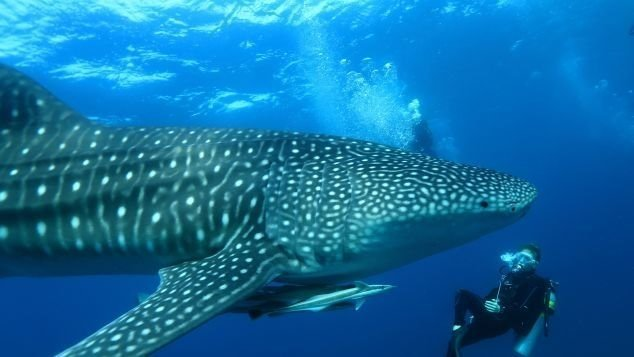 Diving with whale sharks is the highlight of underwater adventures in the Maldives.