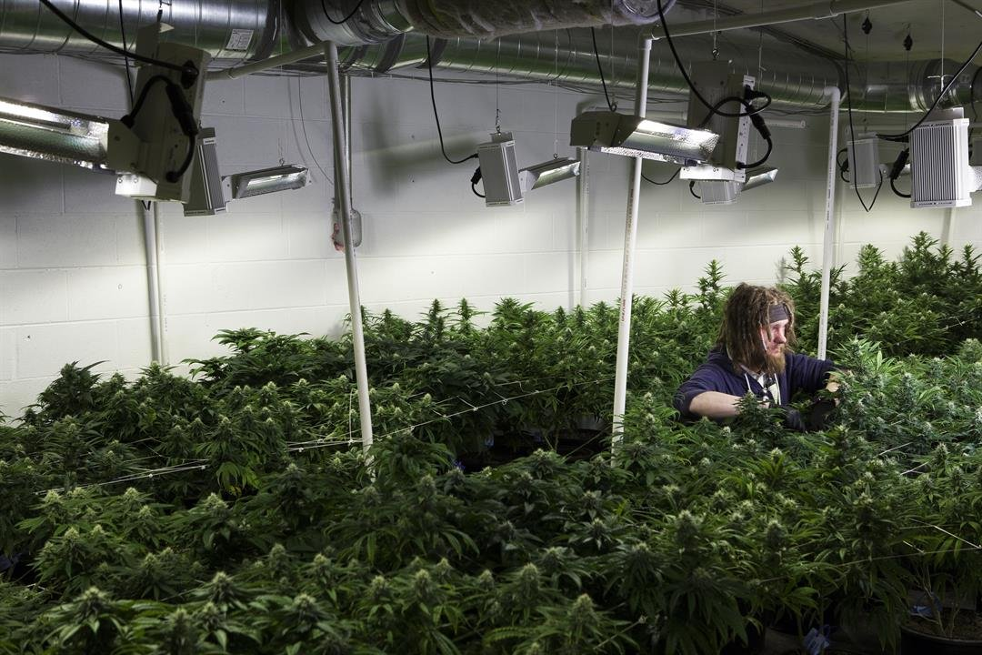 File- Berkeley City Council members have passed a resolution declaring the city a sanctuary for recreational marijuana.