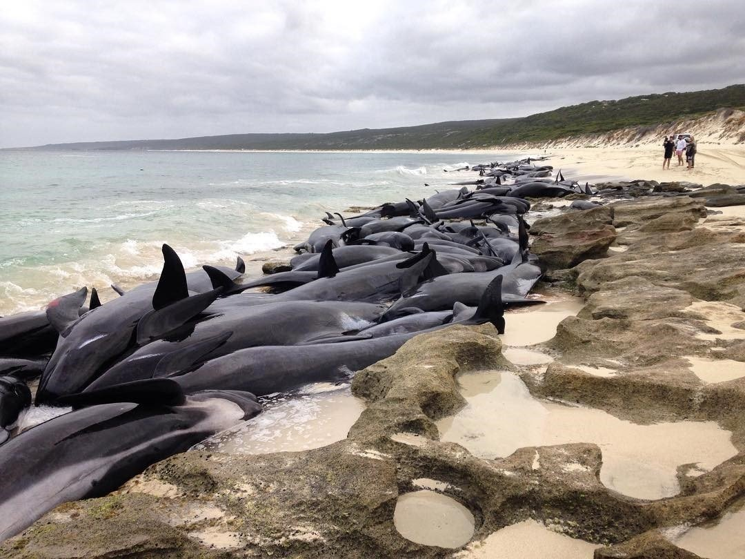 Australia volunteers rescue 5 after mass-stranding of 150 whales