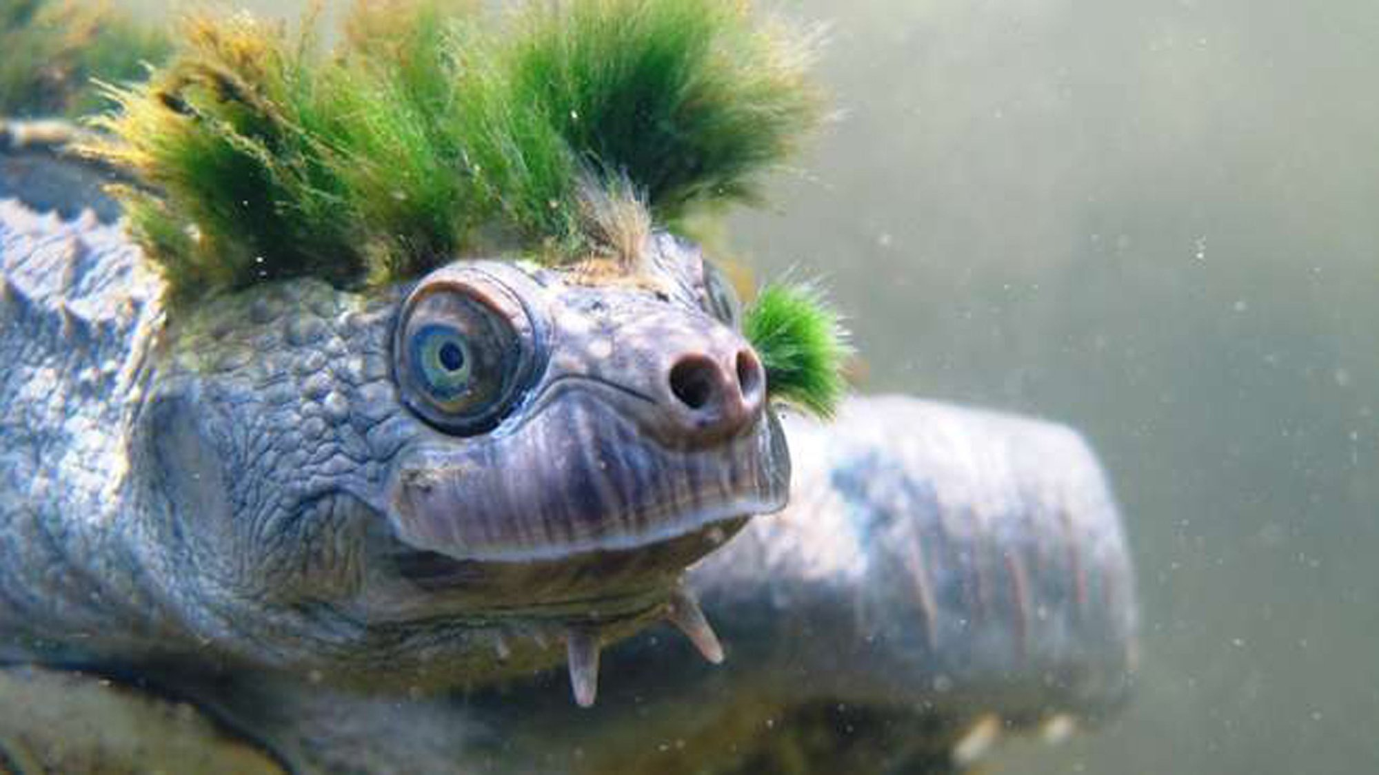 The Mary River turtle native to Queensland Australia and has a distinctive green punk-rock hairstyle two spikes under its chin and the ability to breathe through its genitals is on a new list of endangered reptiles