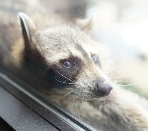 Raccoon scales office tower, captivating public