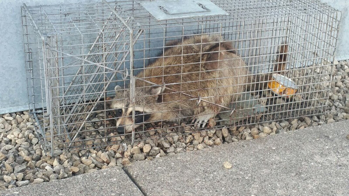 The raccoon that scaled a high-rise office building in St. Paul Tuesday has been caught and will be picked up by St. Paul's Department of Safety & Inspections, according to a tweet from the building's owner, UBS Financial Services.