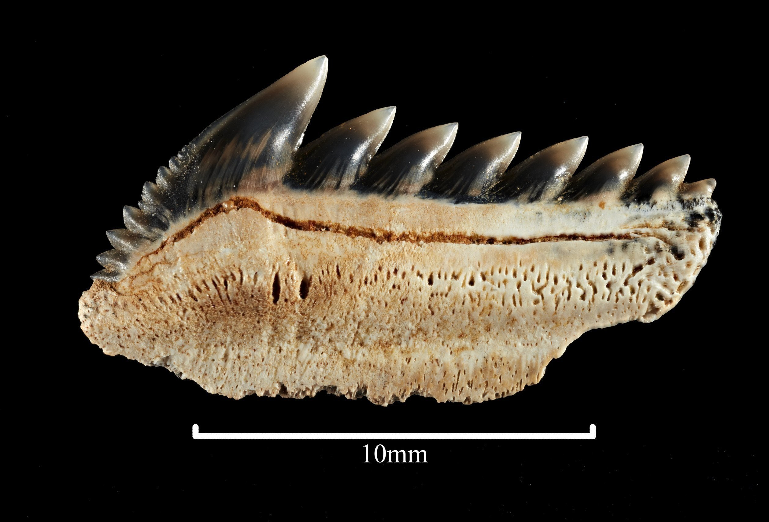 Fossilized teeth of the Sixgill shark.
