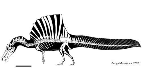 'Bizarre' dinosaur Spinosaurus behaved like a giant, flightless stork, study says - KITV Honolulu