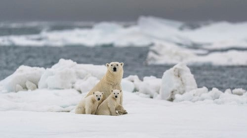 Most polar bears could struggle to survive in the Arctic by 2100 - Erie  News Now   WICU and WSEE in Erie, PA